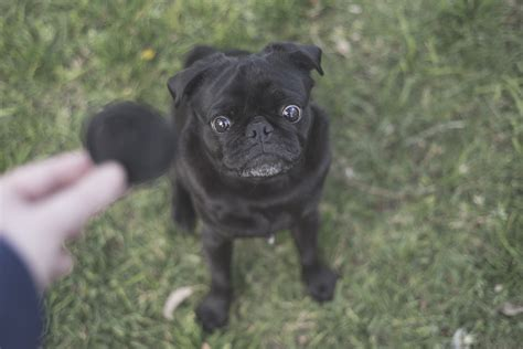 how to get a pug how to get your pug to look at the the pug diary