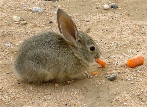 wortel bukanlah makanan yang ideal untuk kelinci kembang pete