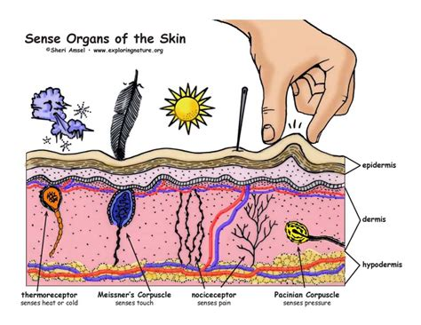 anatomy coloring book nervous system sense organs of the skin