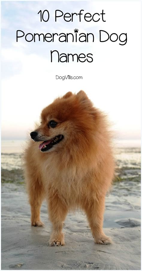 names for pomeranians 10 pomeranian names of personality dogvills