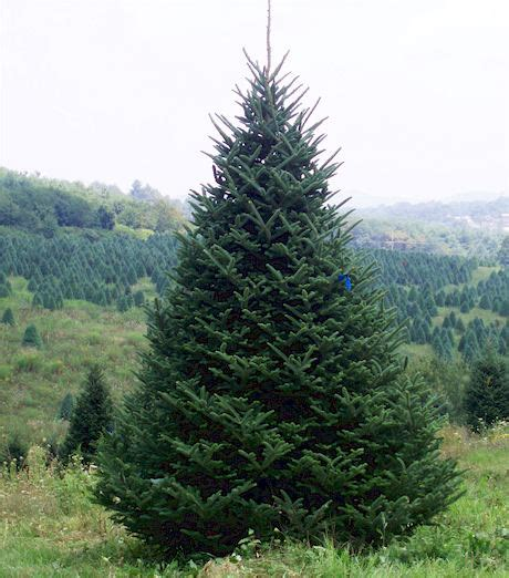 images of christmas trees in north carolina christmas