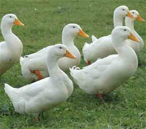 what color are ducks pekin duck characteristics breed information modern