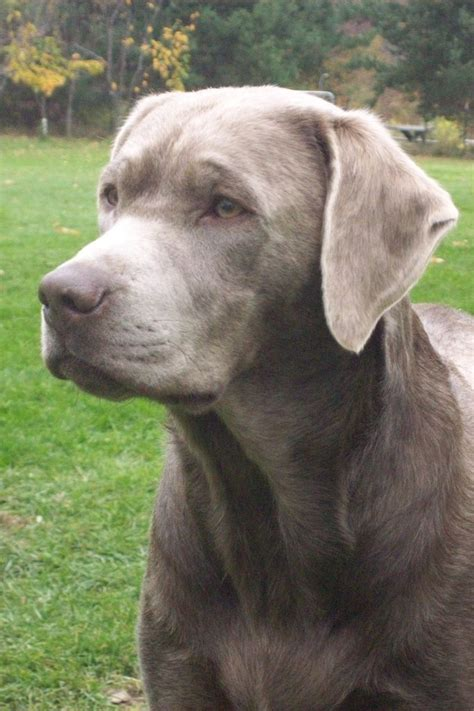 silver lab puppies for sale in indiana akc silver lab pup a labrador retriever pup for sale located breeds picture