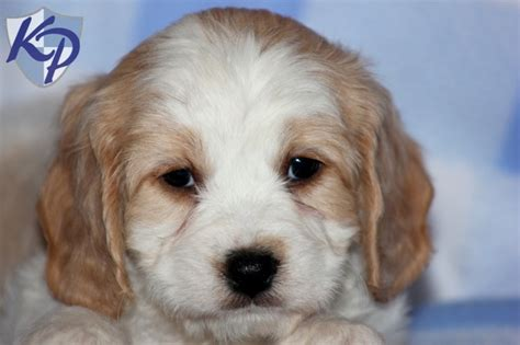 amish puppies for sale 1000 images about cavachon puppies on puppys and spaniels