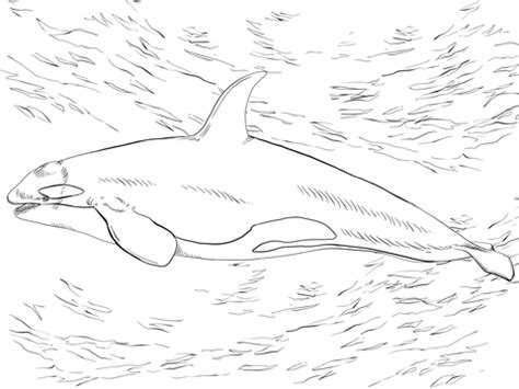 Killer Whale Orca Coloring Page Supercoloring Com Killer Whale Coloring Pages