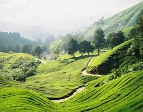 Beautiful tea plantations amo images amo images