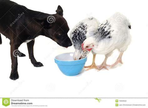 chicken puppies puppy and chicken royalty free stock image cartoondealer 15943522
