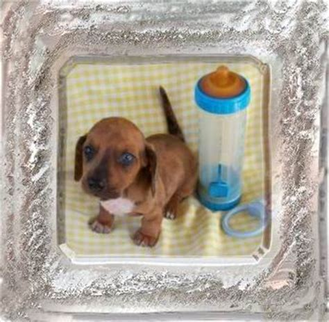 yorkie puppies for sale in baton dachshund puppies for sale baton dogs our friends photo