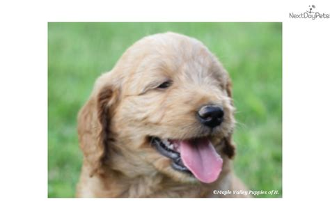 doodle puppies for sale ky goldendoodle puppy for sale near kentucky