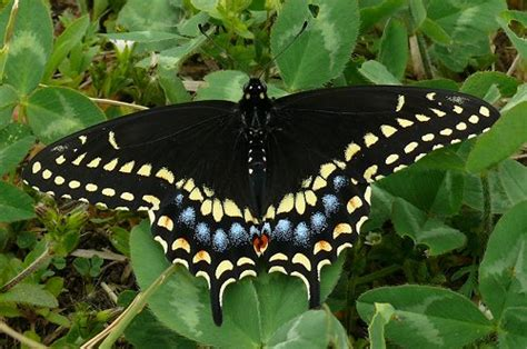 bug life cycles blog archive black swallowtail