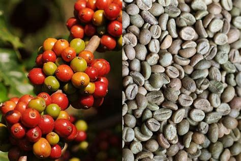 Coffee Robusta arabica vs robusta coffee beans which is better tasting shade grown and fresh roasted coffee
