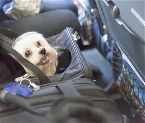 flying with a puppy in cabin what to before flying with your or cat