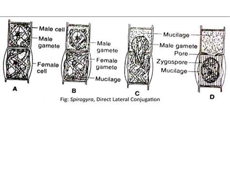 spirogyra reproduction diagram diagram of spirogyra labeled labeled diagram of hydra
