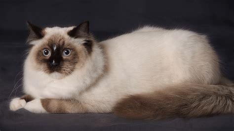 ragdoll que significa gato ragdoll