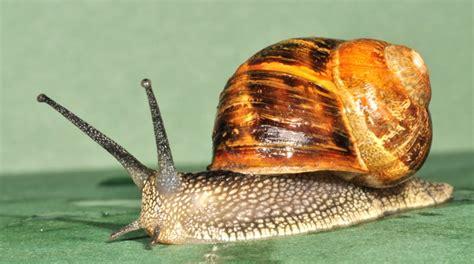 backyard snails how to manage garden snails urban studios