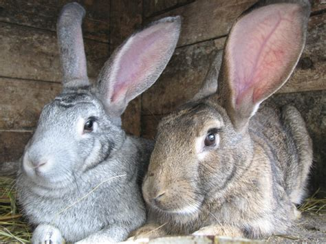 raising meat rabbits your backyard raising meat rabbits economically countryside network