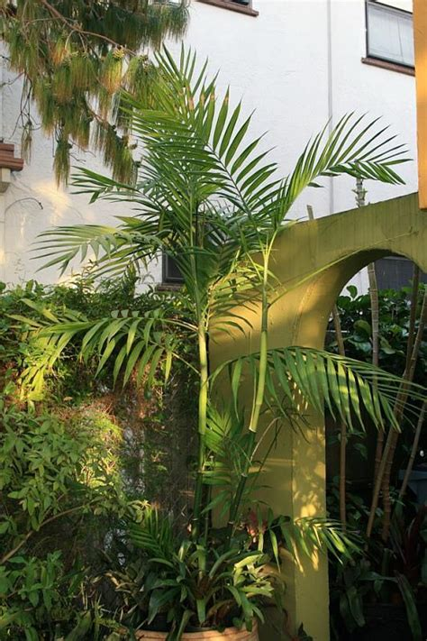 Landscape Design East Bay Plantfiles Pictures Costa Bamboo Palm Chamaedorea