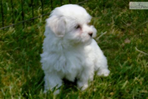 havanese puppies for sale in virginia havanese puppy for sale near charlottesville virginia 8a121540 ea31