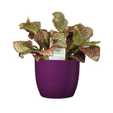 Fragrant Indoor House Plants - shop exotic angel plants 20 oz fittonia in planter l9405hp at lowes com