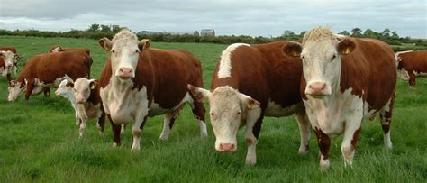 hereford cattle image gallery hereford