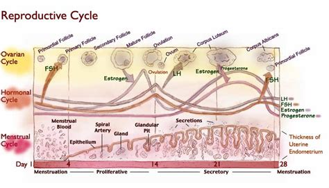 hormone cycle diagram reproductive cycle