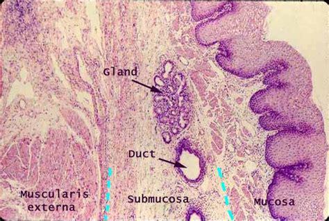 Cross Section Of Esophagus by Siu Som Histology Gi