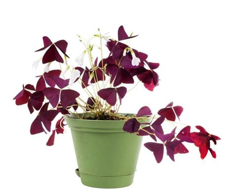 indoor flowering plants no sunlight add some color 5 cheery easy to grow indoor flowering