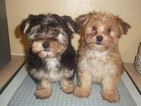 maltese yorkie grown morkie dogs images search