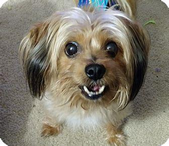 yorkie rescue orlando maitland fl yorkie terrier mix meet a for adoption