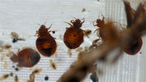 diy bed bug treatment diy bed bug treatment attempt accidentally results in