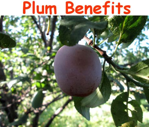 Plumb Benefits by Plum Benefits And Side Effects Myhealthbynature