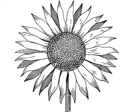 Sunflower Outline Png by Free Clip Sunflower Vector Image Clip Department