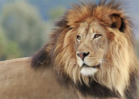 Of Lions why do lions manes mental floss