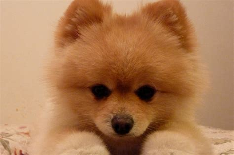 where did pomeranians originate 20 breeds that look just as cuddly as teddy bears chow chow