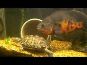 Red eared slider turtle feeding on goldfish.   YouTube