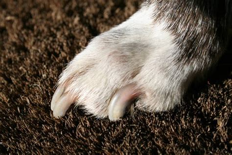 how to trim puppy nails how to trim overgrown nails pets