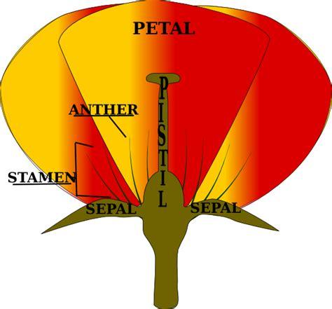 mature flower diagram clip art at clkercom vector clip parts of a flower clip art at clker com vector clip art