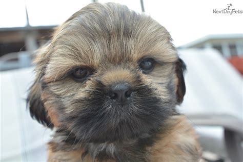 shih tzu puppies bay area shih tzu puppy for sale near ta bay area florida e951545f 8b31