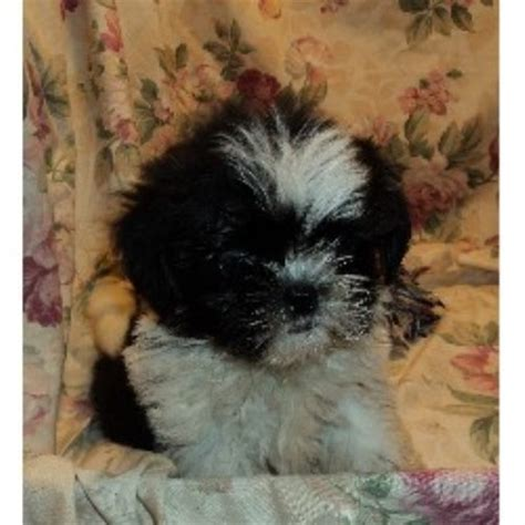 shih tzu breeders in kansas miniloves puppies shih tzu breeder in lakeland florida