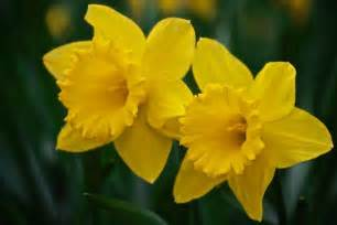 How To Care For Cut Flowers In A Vase Funeral Flowers Daffodils Typesofflower Com