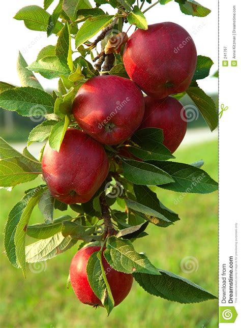 best time to plant fruit trees in michigan apple tree royalty free stock photography image 241767