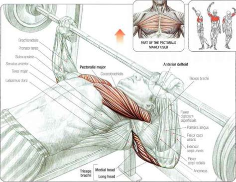 bench press muscles worked muscles involved in the bench all about powerlifting