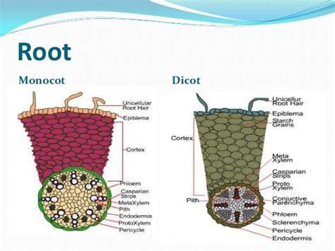 monocot root diagram monocot vs dicot