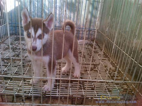 Jual Masker Mata Bandung dunia anjing jual anjing siberian husky anakan husky 1