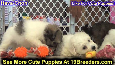 havachon puppies for sale havachon puppies for sale in kearney nebraska ne fremont hastings