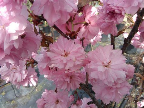 ciliegio da fiore giapponese prunus serrulata kanzan ciliegio da fiore arbusti