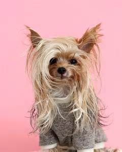 this stylish yorkie loves show off different hairstyles