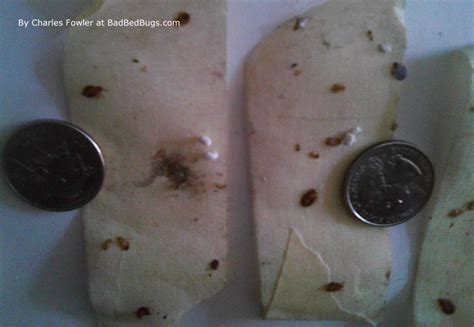 how many legs do bed bugs have pictures of what bed bugs look like on skin and mattress