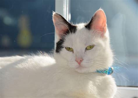 cat and images beautiful cat with blue collar wallpapers and images wallpapers pictures photos