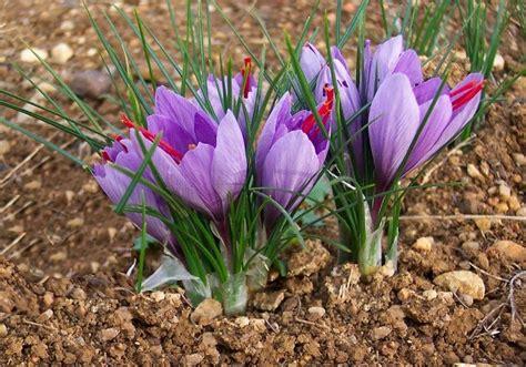 coltivare zafferano in vaso come coltivare zafferano in vaso e a terra tuttogreen